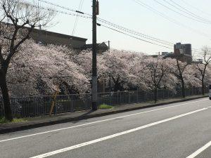 天神川高辻の桜